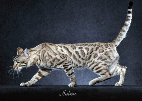 Bengal cat breeders in oklahoma