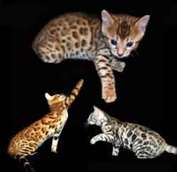 Picture of Bengal Cat - Kingsmark Bengals and Serengetis