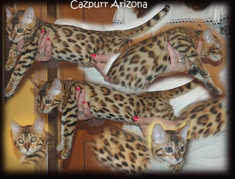 Picture of Bengal Cat - Cazpurr Bengals