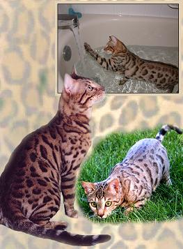Picture of Bengal Cat - LUNAKATZ BENGALS