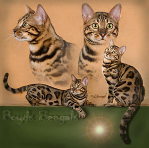 Picture of Bengal Cat - Boyds Bengals of Savannah