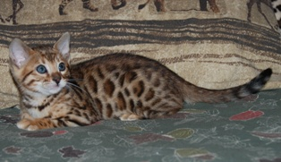Picture of Bengal Cat - EdenRanch Bengals