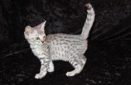 Picture of Bengal Cat - Raziel Reign
