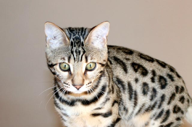 Picture of Bengal Cat - Jazzle Bengals