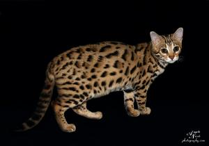 Picture of Bengal Cat - Indiancreek Bengals