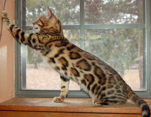 Picture of Bengal Cat - Wild Trax