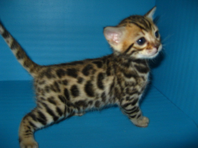 Picture of Bengal Cat - Designer Spots Bengal Cats
