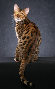 Picture of Bengal Cat - Bodcau Bayou Bengals