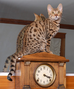 Picture of Bengal Cat - Simias Bengals