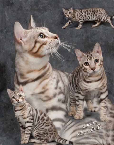 Picture of Bengal Cat - Cavscout Bengals