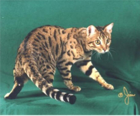 Picture of Bengal Cat - Tejas