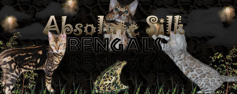 Picture of Bengal Cat - AbsoluteSilk Bengals