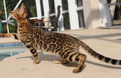 Picture of Bengal Cat - Wild Beach Bengals