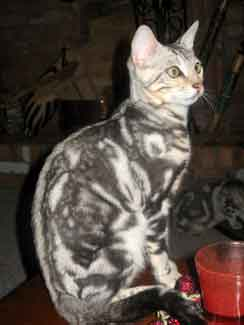 Picture of Bengal Cat - Aristakatz Forest City Bengals
