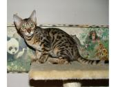 Picture of Bengal Cat - Kaymankatz