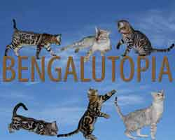 Picture of Bengal Cat - Bengalutopia
