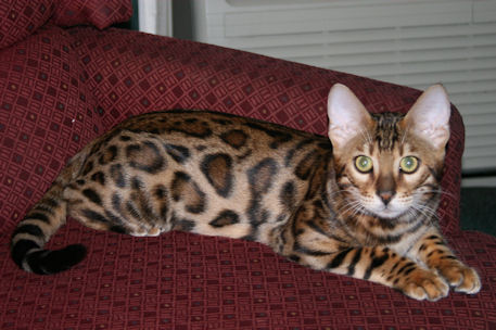 Picture of Bengal Cat - BearBrook Bengals
