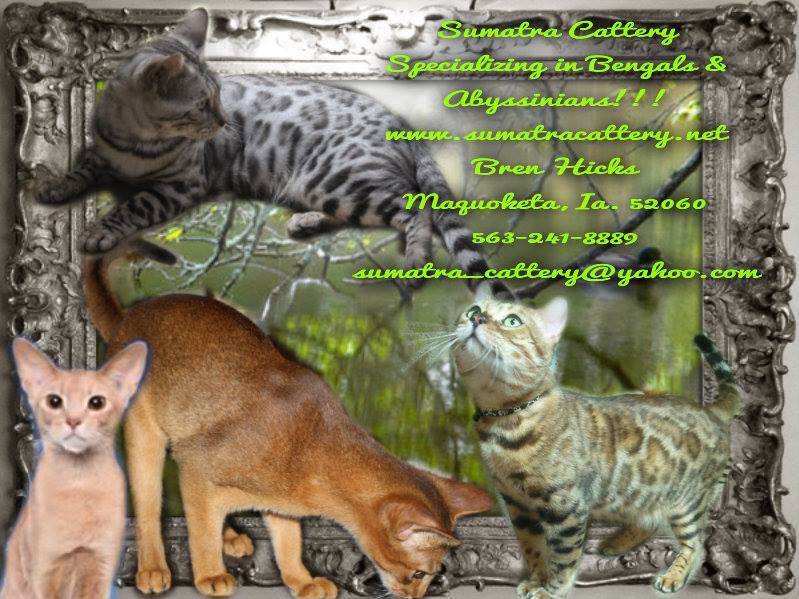 Picture of Bengal Cat - Sumatra Cattery - Bengals and Savannahs