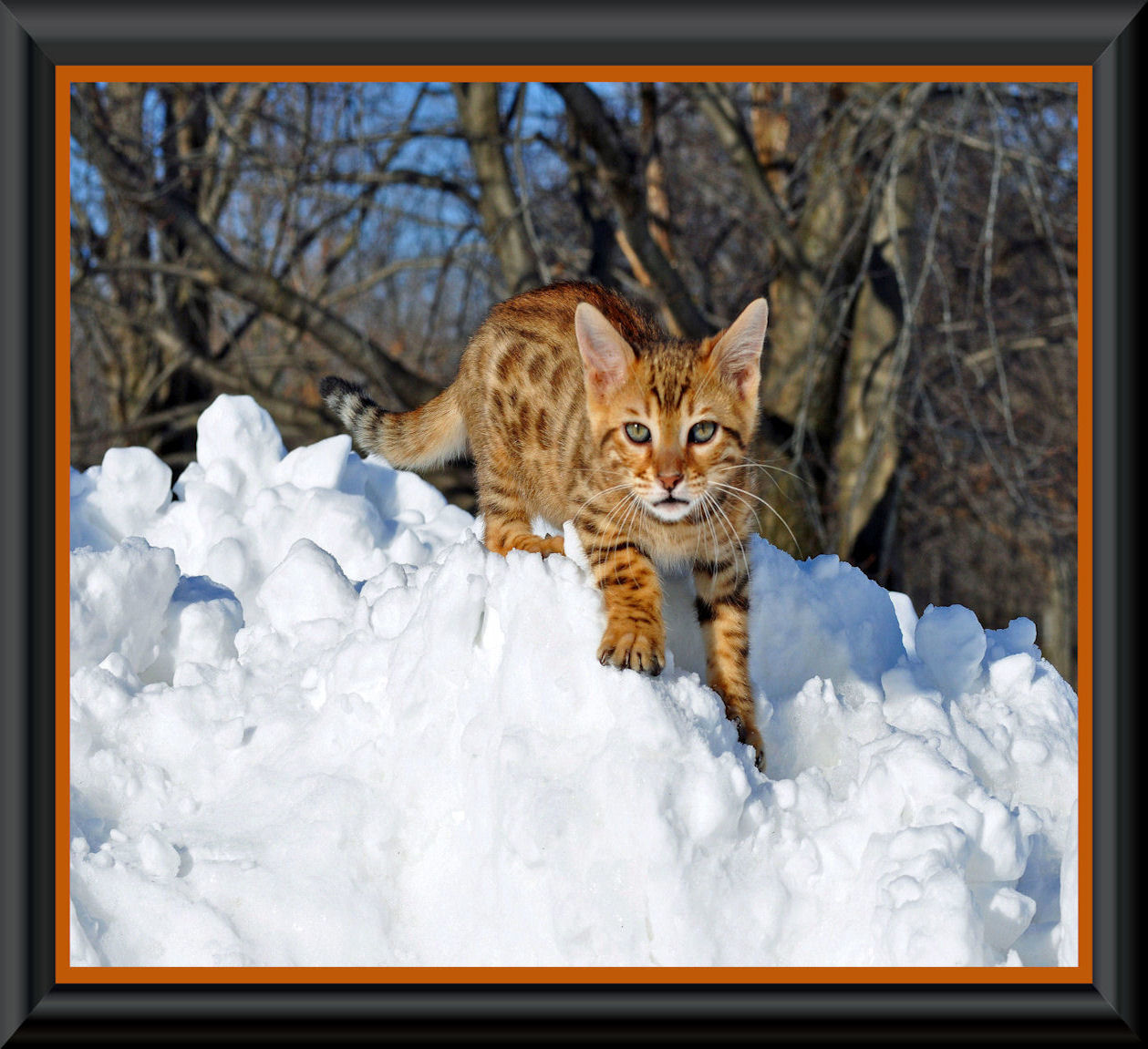 Breeder Directory Bengal Breed