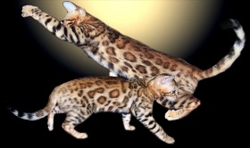 Picture of Bengal Cat - WildForest Bengals