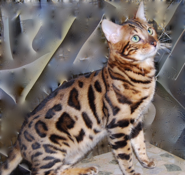 Picture of Bengal Cat - Africadabra