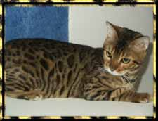 Picture of Bengal Cat - CafeKitty Savannahs & Bengals