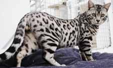Picture of Bengal Cat - Silver Storm Bengals