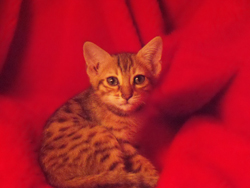 Picture of Bengal Cat - SC Bengals Cattery