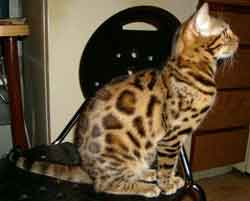 Picture of Bengal Cat - Monster