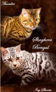 Picture of Bengal Cat - Shaghera Bengals and Savannahs