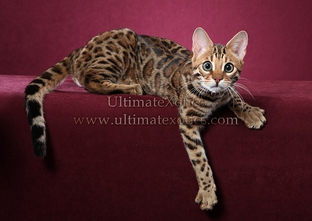 Picture of Bengal Cat - UltimateXotics