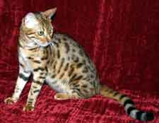 Picture of Bengal Cat - Sunset Bengal Cats