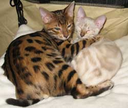 Picture of Bengal Cat - FastPaws Bengals