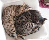 Picture of Bengal Cat - Midwest Mysticals Savannahs & Bengals