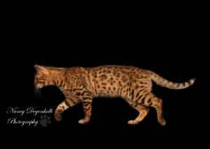 Picture of Bengal Cat - Bengaluvrs