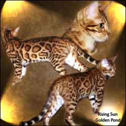 Picture of Bengal Cat - Rising Sun