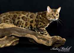 Picture of Bengal Cat - KatzMeowBengals