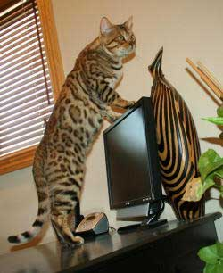 Picture of Bengal Cat - Select Exotics