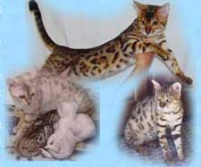 Picture of Bengal Cat - Snowtracks Bengals