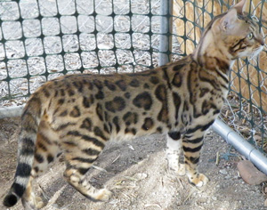 Picture of Bengal Cat - Kumbaspride
