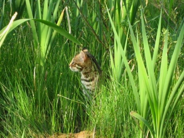 Bengal cat for sale ontario canada