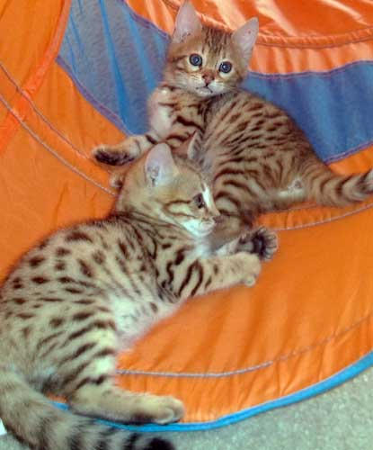 Picture of Bengal Cat - Leopard Lights