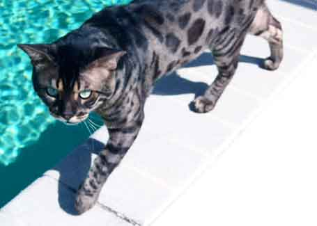 Picture of Bengal Cat - Naples Bengals