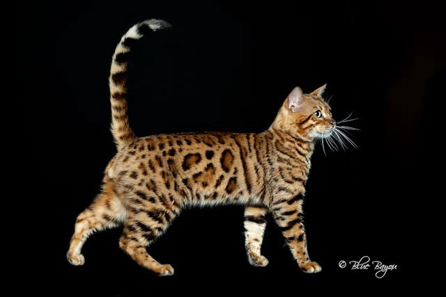Bengal cat kittens for sale illinois