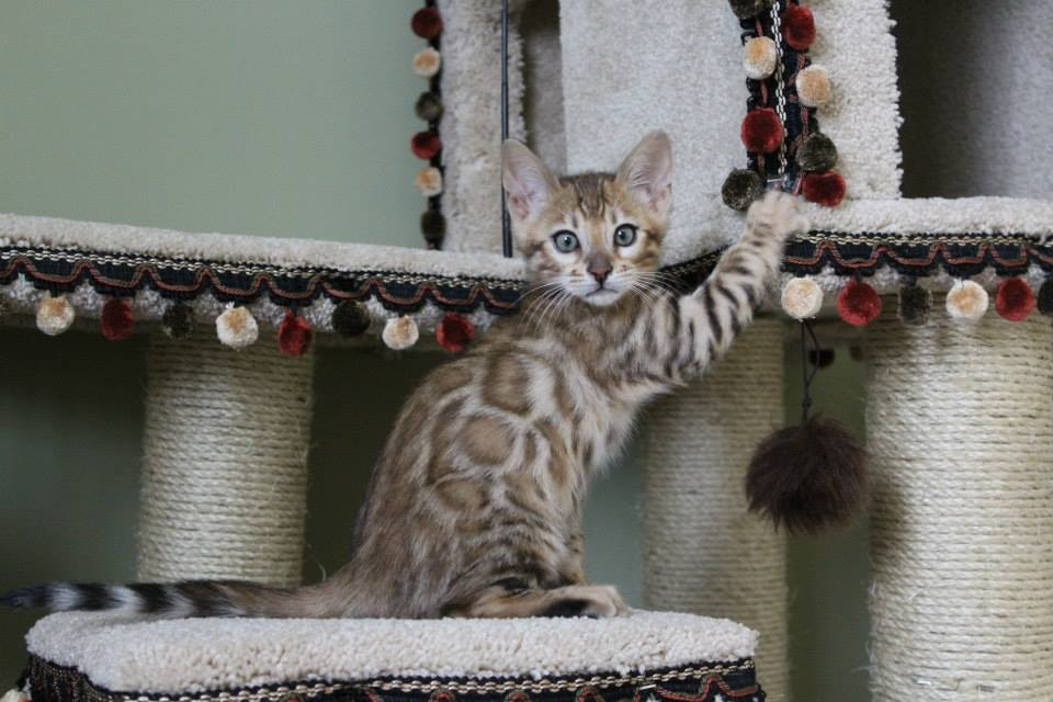 Picture of Bengal Cat - Chicago Bengals