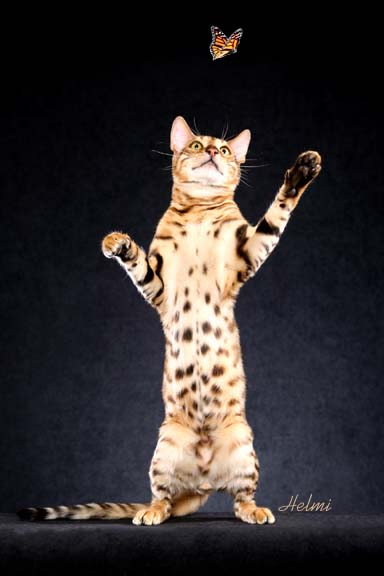 Picture of Bengal Cat - Aristocrat Bengals