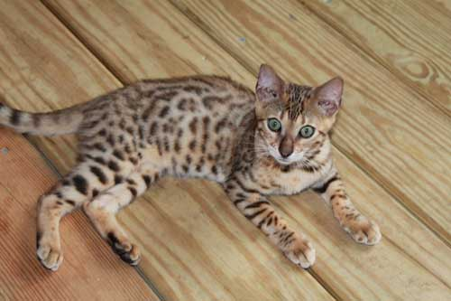 Picture of Bengal Cat - Choctaw Bengals