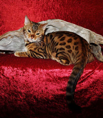 Picture of Bengal Cat - MotorCityExotics