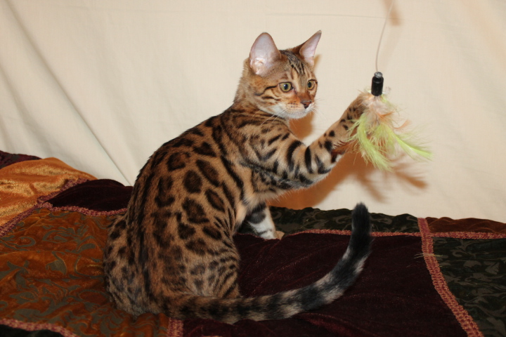 Picture of Bengal Cat - Bengal Royalty Cattery