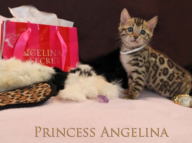 Picture of Bengal Cat - Aristocat Bengal Cattery